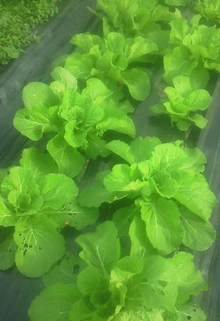 3度定植の為育ちがばらばらな白菜